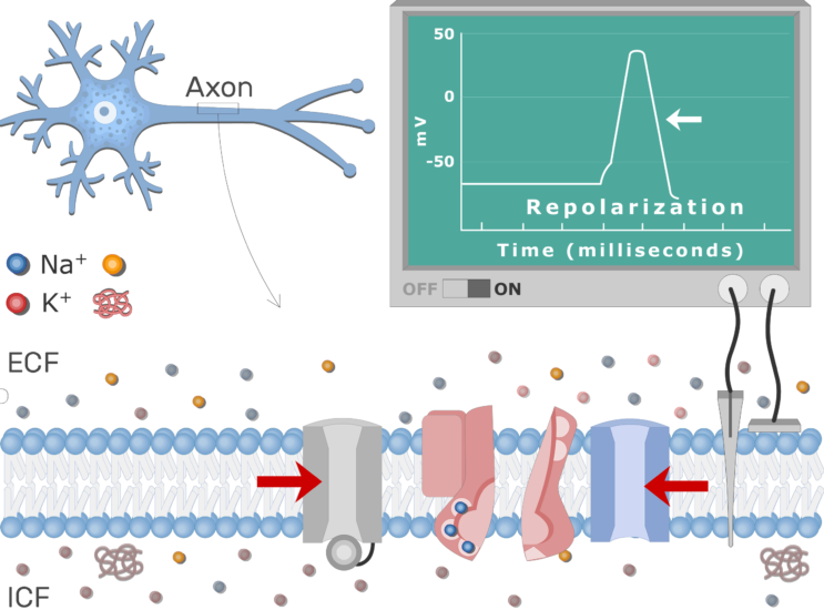 An image showing the pump moving Na+ ions outside the cell and K+ ions inside, the neuron axon membrane is enlarged and contains different channels