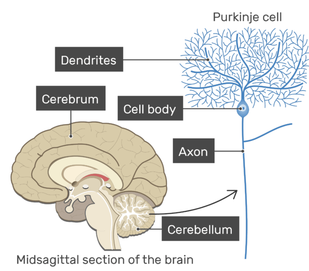 An image showing the basic structures of a Purkinje cell, which is multipolar neuron, the Purkinje cell, dendrites, cellbody and cerebellum