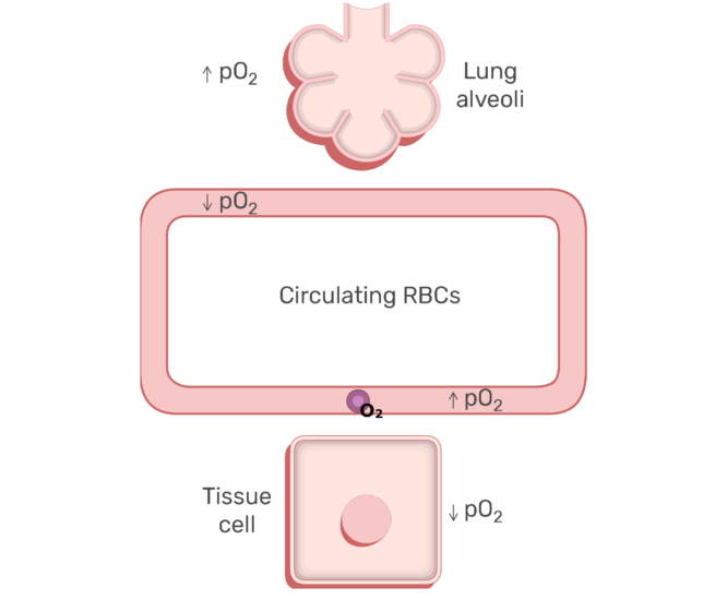 RBCs circulating in the blood stream animation slide 1
