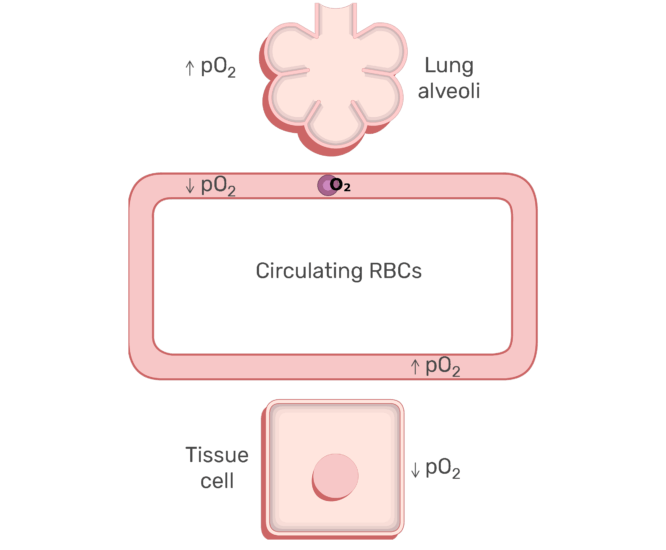 RBCs circulating in the blood stream animation slide 10
