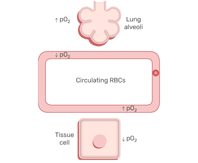 RBCs circulating in the blood stream animation slide 14