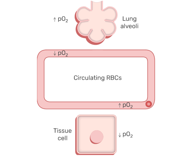 RBCs circulating in the blood stream animation slide 16