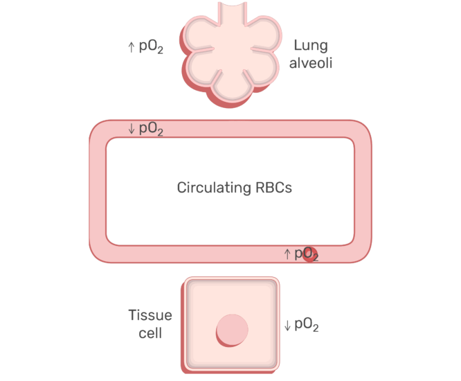 RBCs circulating in the blood stream animation slide 17