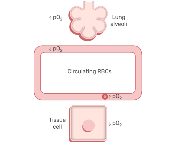RBCs circulating in the blood stream animation slide 18