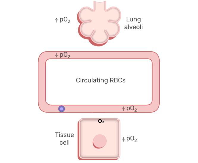 RBCs circulating in the blood stream animation slide 3
