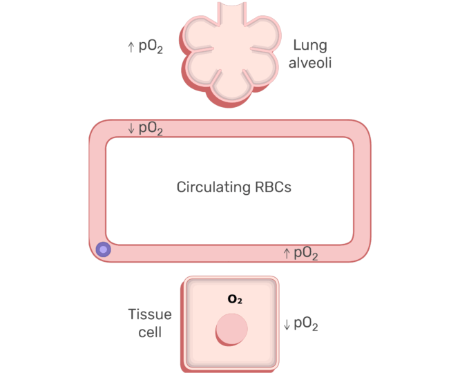 RBCs circulating in the blood stream animation slide 4