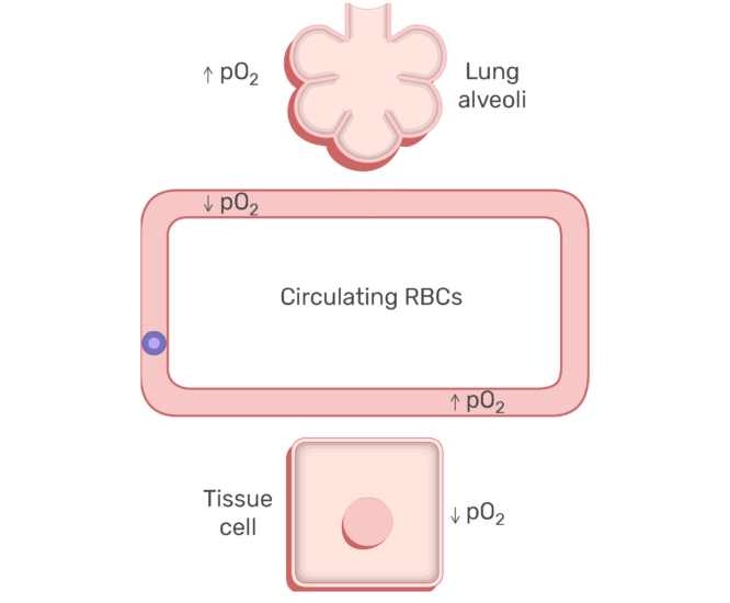 RBCs circulating in the blood stream animation slide 5