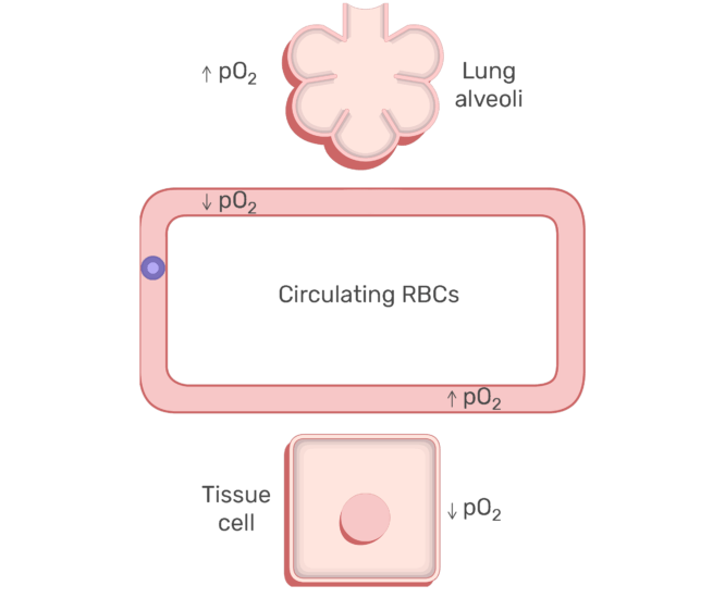 RBCs circulating in the blood stream animation slide 6