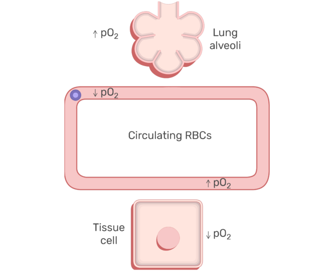 RBCs circulating in the blood stream animation slide 7
