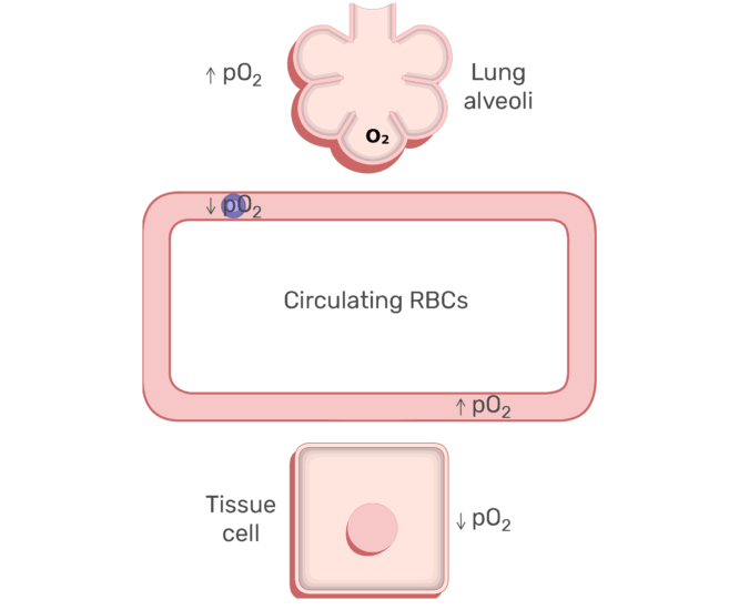 RBCs circulating in the blood stream animation slide 8