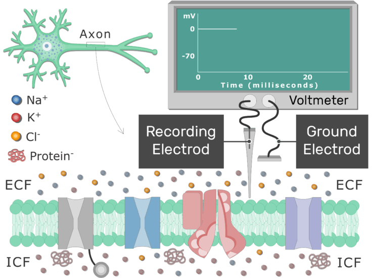 An image showing a ground and recording electrods of voltmeter placed on the surface of a neuron cell membrane