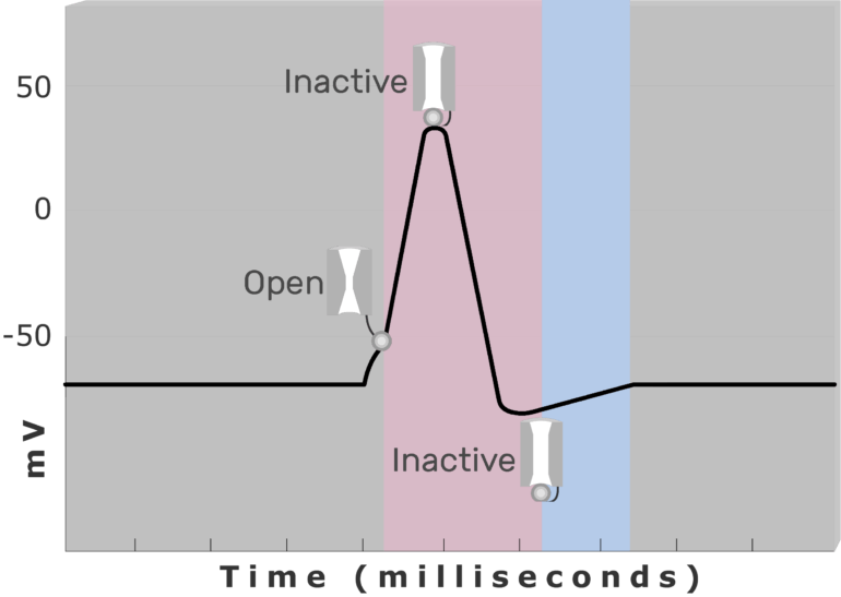 An image showing the Relative refractory period , inactive (closed) and active (open) Na+ channel during Absolute refractory period (pink) using diagram of action potential measured (mv) through time