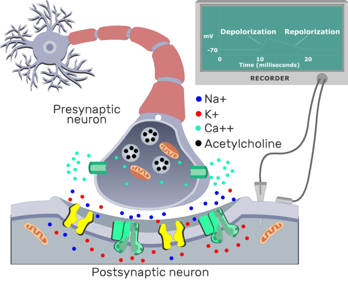 An image showing the repolarization of cholenergic synapse between presynaptic and postsynaptic neuron, the postsynaptic membrane contains different channels