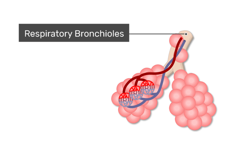 alveoli labeled respiratory bronchiole
