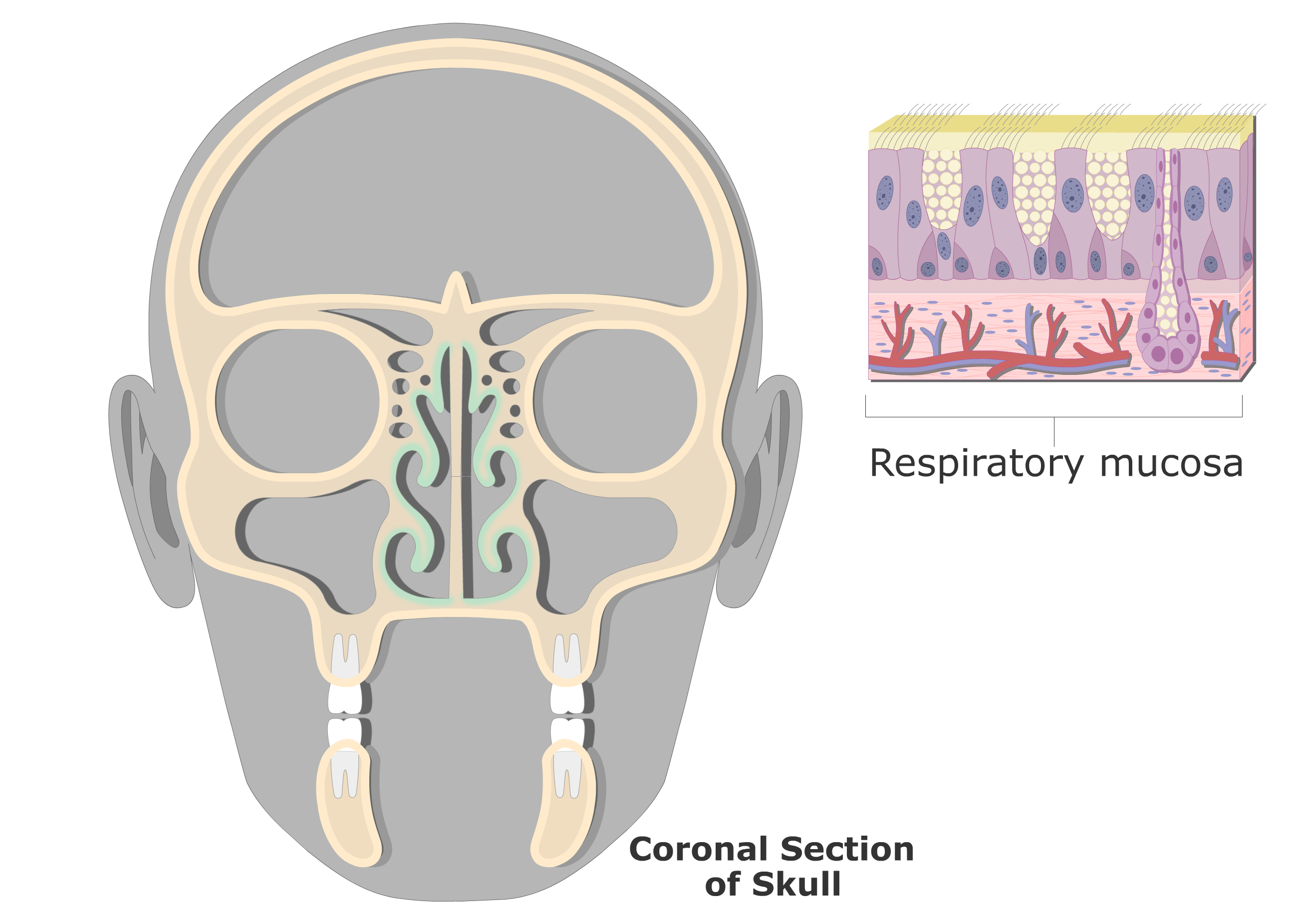 Coronal View of the Respiratory Mucosa and highlighted