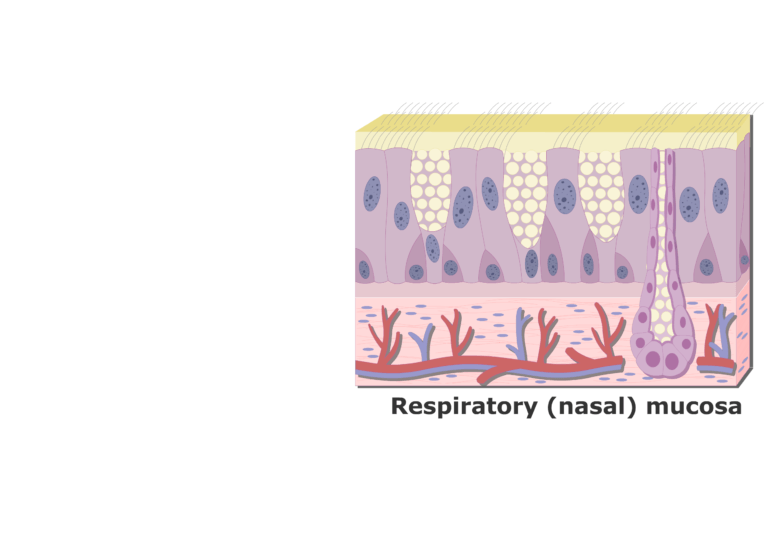 An expanded view of the Respiratory Mucosa