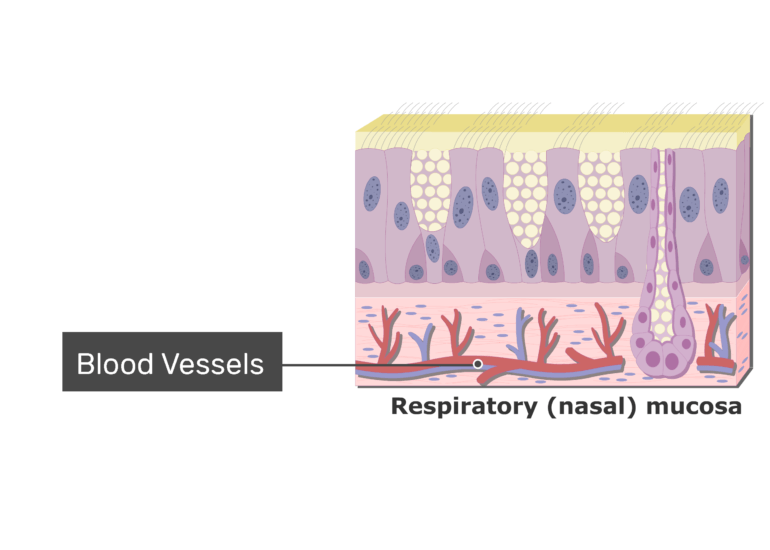 An expanded view of the Respiratory Mucosa and the blood vesselsl labeled