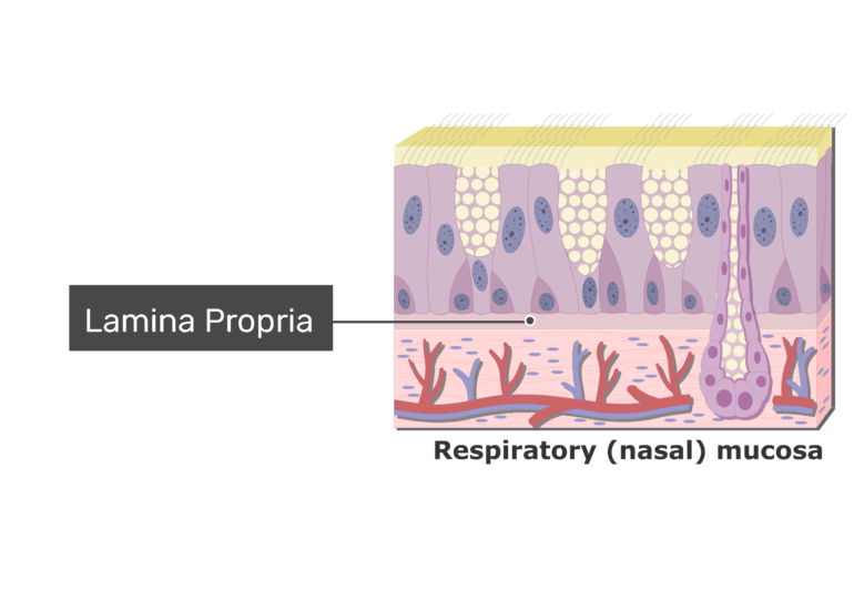 An expanded view of the Respiratory Mucosa and the lamina propria labeled