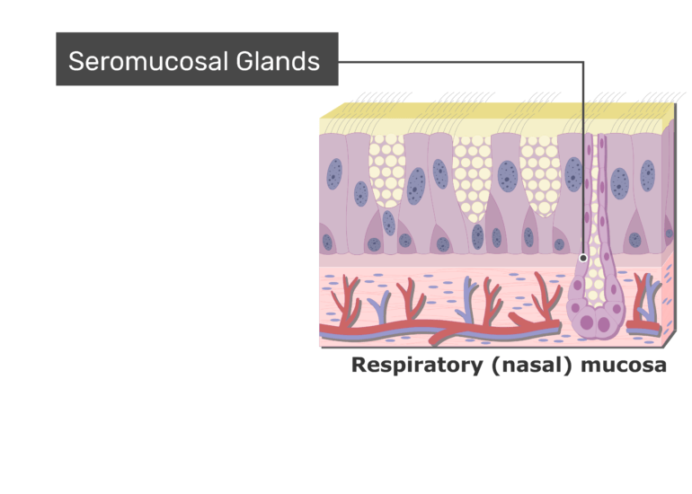 An expanded view of the Respiratory Mucosa and the seromucosal cells labeled