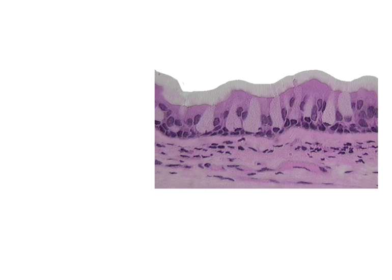 Micrograph of the Respiratory Mucosa