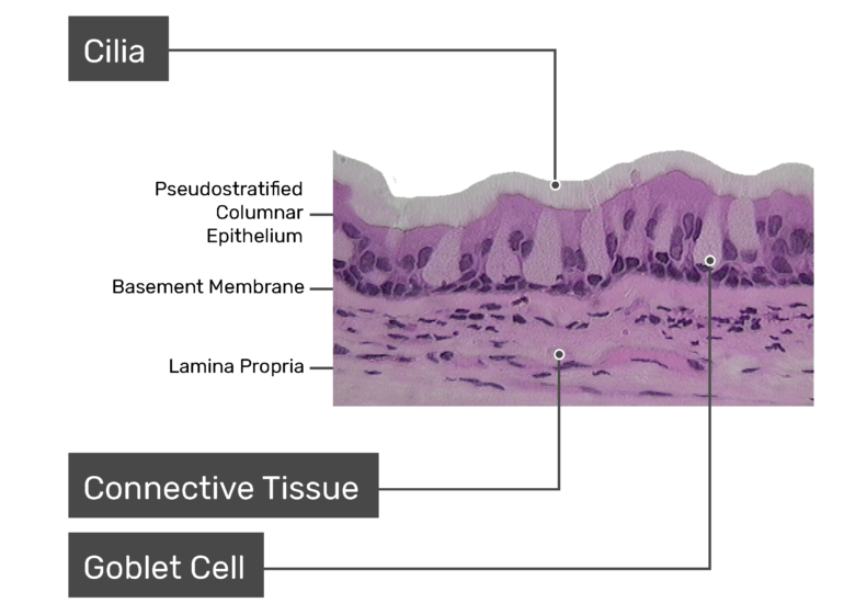Micrograph of the Respiratory Mucosa with labeled Cilia, Goblet Cell, Connective tissue, pseudostratified columnar epithelium, basement membrane, lamina propria