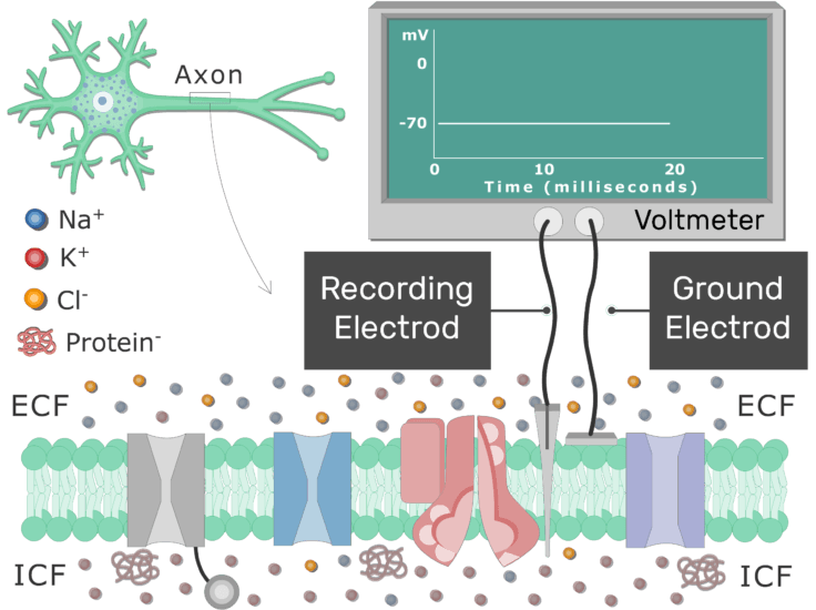 An image showing the resting membrane potential on board using voltmeter with 2 electrods