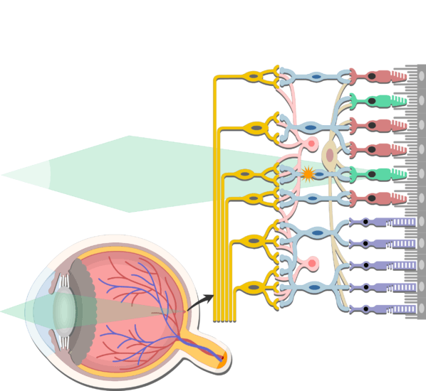An image showing the bipolar neuron inside the retina, the photoreceptors