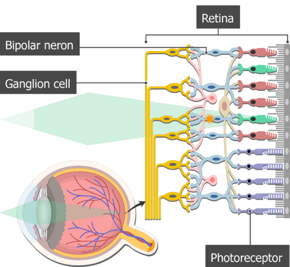 An image showing the bipolar neuron inside the retina, the photoreceptors, bipolar neuron and Ganglion cells are labeled