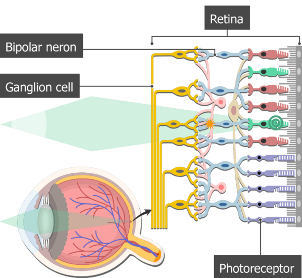 An image showing the action potential moving from the photoreceptors to the ganglion cells