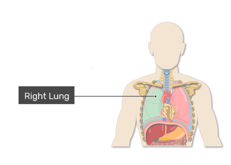 Right lung labeled on anterior view of body demonstrating lungs anatomy and the surrounding structures