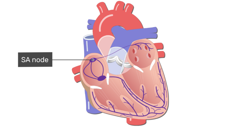 The SA node of the electrical conduction system of the heart.