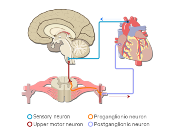 Sample Autonomic Nervous System Pathways - Featured