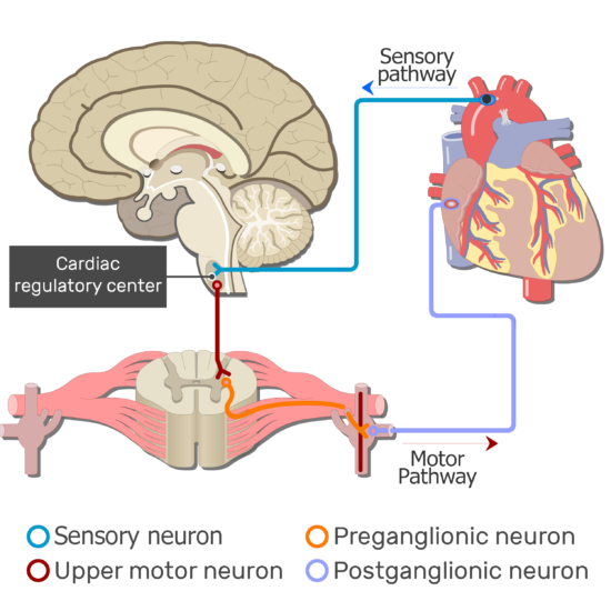 An image showing the autonomic nervous system pathway from the brain to the effective organ passing through the spinal cord, conducting the action potential requires 1 sensory neuron and 3 motor neurons (Upper motor neuron, preganglionic motor neuron and postganglionic motor neuron)