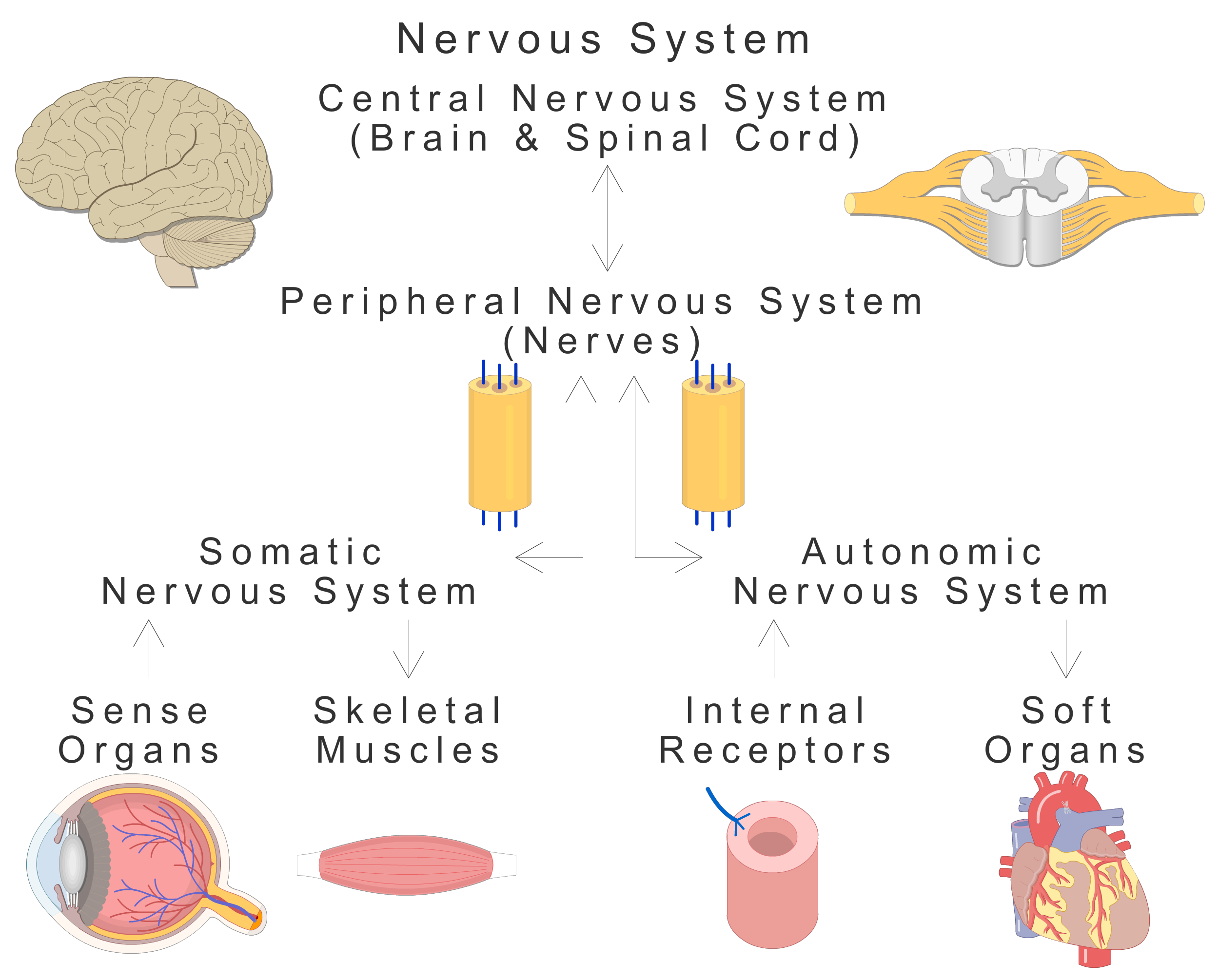 An image showing the basic types of the Nervous system (CNS and PNS) and their subtypes