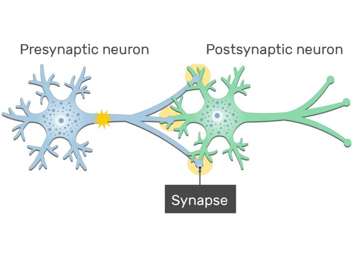 An image of a synapse between 2 neurons showing the signals from presynaptic neurons moving to the synapse through the axon