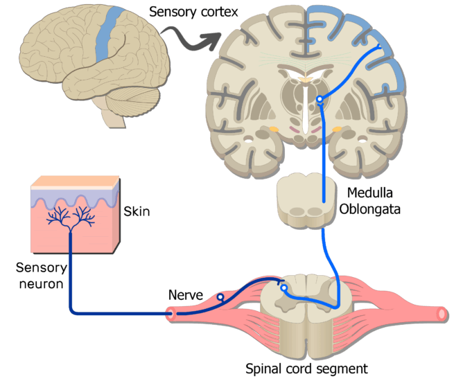 Sample Somatic Nervous System Pathways