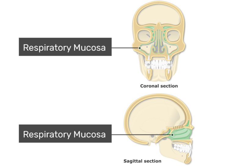 The respiratory mucosa highlighted and labeled on coronal and sagittal view of the paranasal sinuses