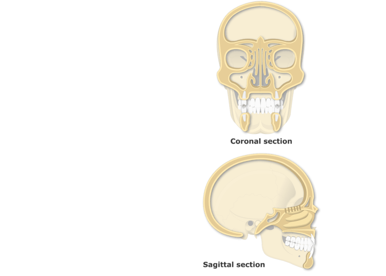 A coronal and sagittal view of the paranasal sinuses