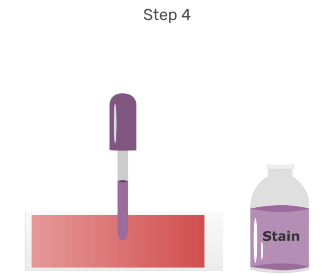 Animation of the surface of the blood smear being flooded with Wright's stain.