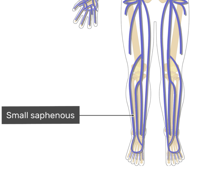 Labelled image of the small saphenous vein