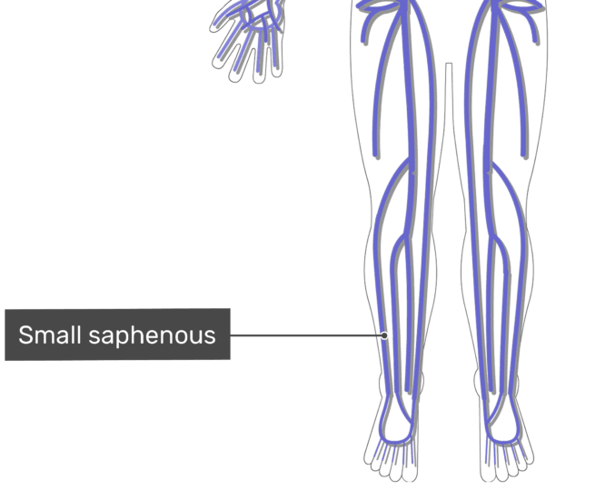 Labelled image of the saphenous vein with the skeleton off