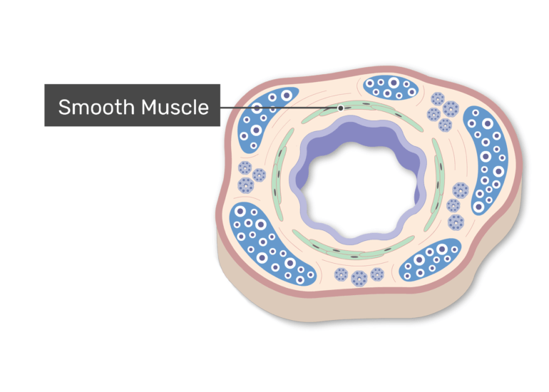 The Smooth Muscle