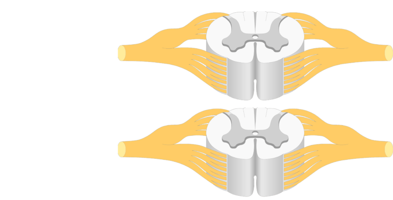 An image showing a spinal cord segment (gray and white matters and nerves coming out)