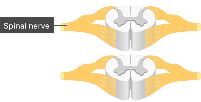 An image showing a spinal cord segment (gray and white matters and nerves coming out) , the spinal nerve is labeled