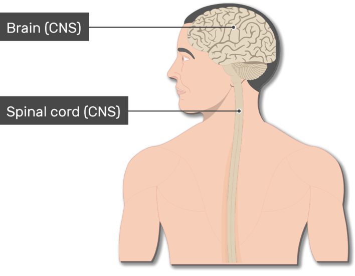 An image of the body showing the Spinal cord, Brain, head and the back of a smiley man, the Spinal cord and the brain are labeled
