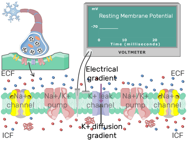 An image showing the stabilizing action potential of a neuron cell membrane