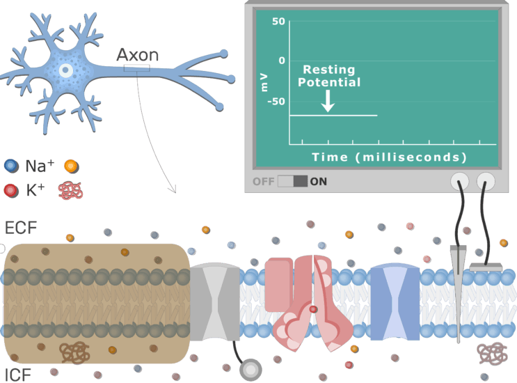 An image showing the stimulus of the axon neuron membrane to initiate the process, the neuron axon membrane is enlarged and contains different channels