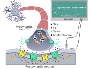Summary of cholinergic synaptic events - Featured