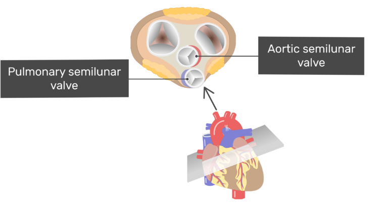 Superior view of the Pulmonary semilunar valve and the aortic semilunar valve