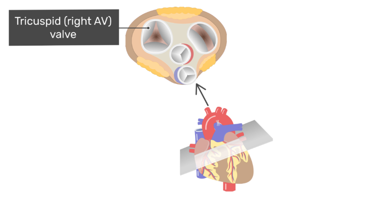 Superior view of the tricuspid valve of the heart